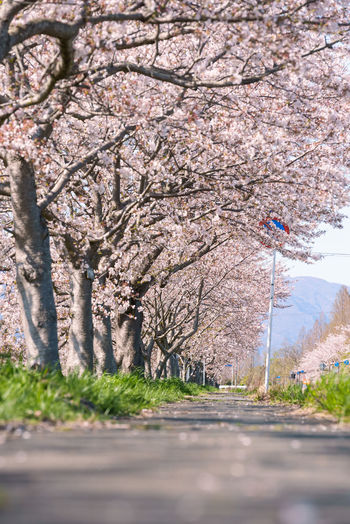 View of cherry blossom from tree