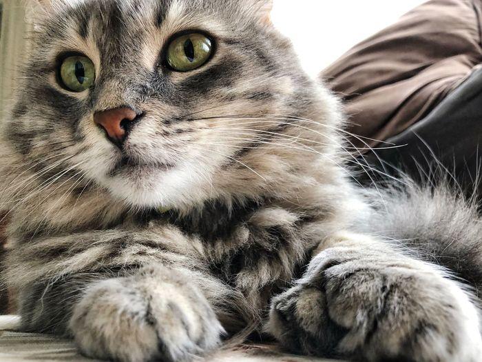 Cat Mammal Domestic Cat Animal Themes Feline Animal One Animal Pets Domestic Animals Domestic Whisker No People Lying Down