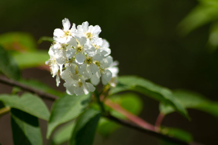 Close-up of white cherry blossom on plant