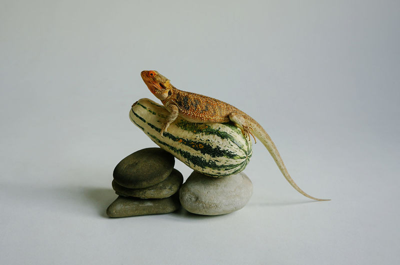Close-up of frog on rock against white background