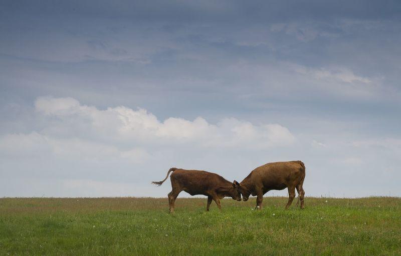 Cows fighting on grassy field