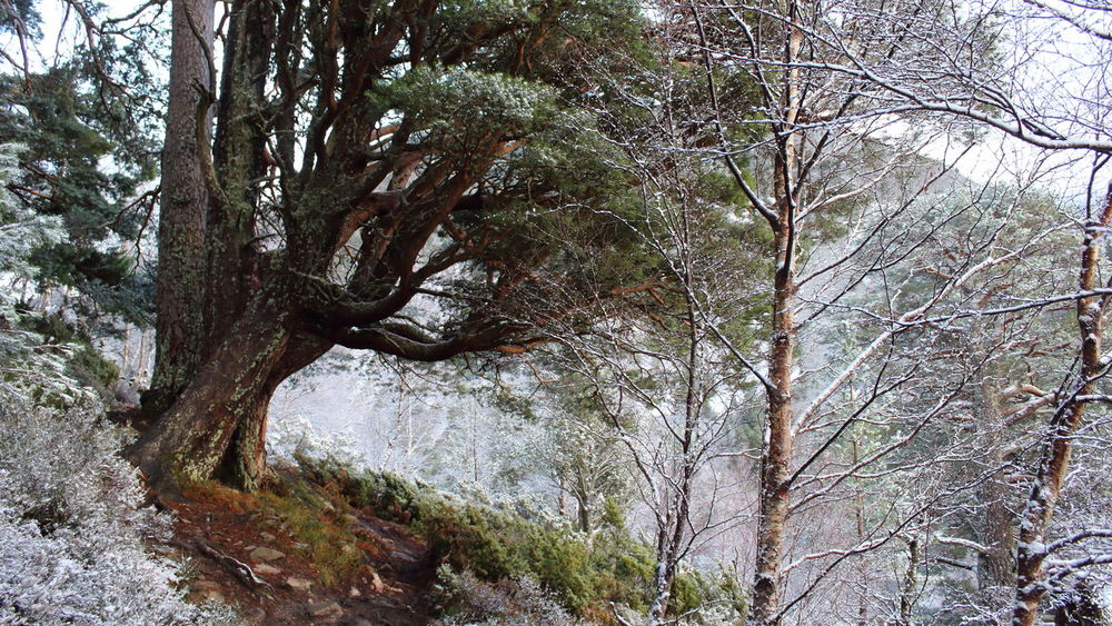 Cairngorms Frost Scotland Bare Tree Beauty In Nature Branch Day Forest Growth Nature No People Outdoors Scenics Scots Pine Scottish Highlands Tranquility Tree Tree Trunk