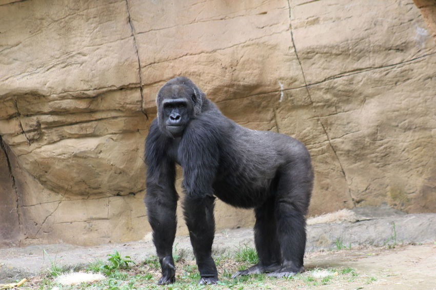 Animal Themes Animal Wildlife Animals In The Wild Day Full Length Gorilla Gorillas Mammal Nature No People One Animal Outdoors Rock - Object