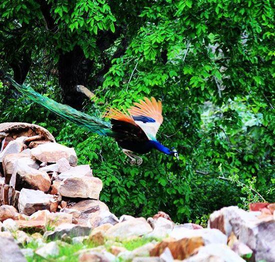 Beauty!! Beautiful Beautifuljaipur Beauty Bird Peacock Colorful Colors Nationalbird Nature Canon Canonshot Instaclick Insta Instagood Instapic Picoftheday Instadaily LovePhotographyAndSayCheenzz