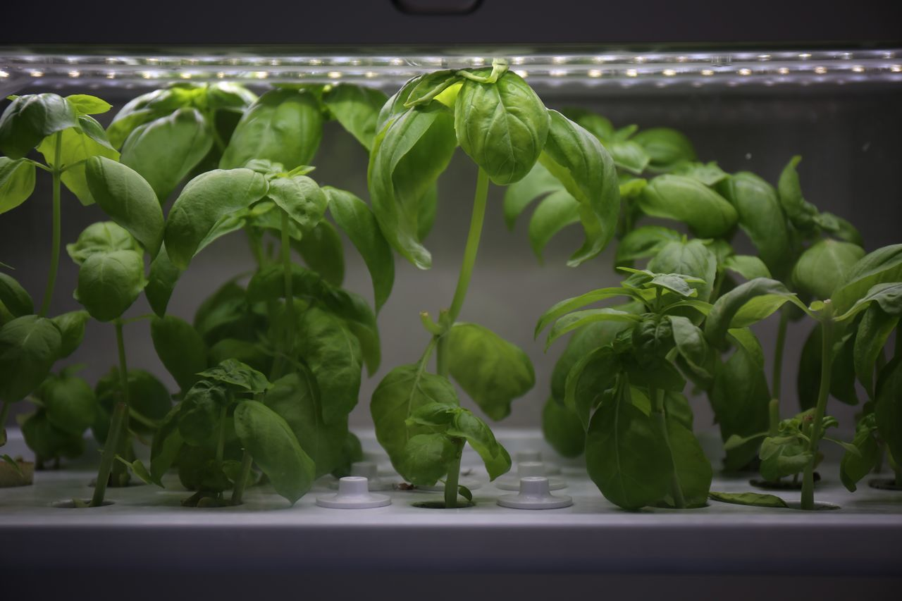 Artificial cultivation of vegetable