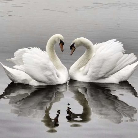 Cisnes Lake Bird Swans ❤ Love ♥ Twoofus Swans On The Lake Reflection Animal Themes Animal Wildlife Water Bird