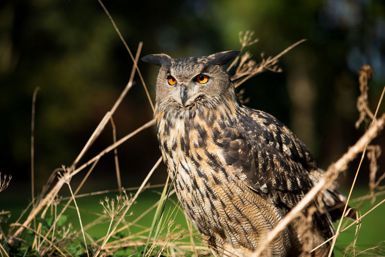 Eyeem Birdphotography EyeEm Birds Nature_collection Nature Photography Animal Wildlife Birds_collection Birds Of EyeEm  Birds Bird Of Prey Close-up Focus On Foreground No People Nature Bird One Animal Animal Themes Animal Bubo Bubo Eagle Owl  Eurasian Eagle Owl