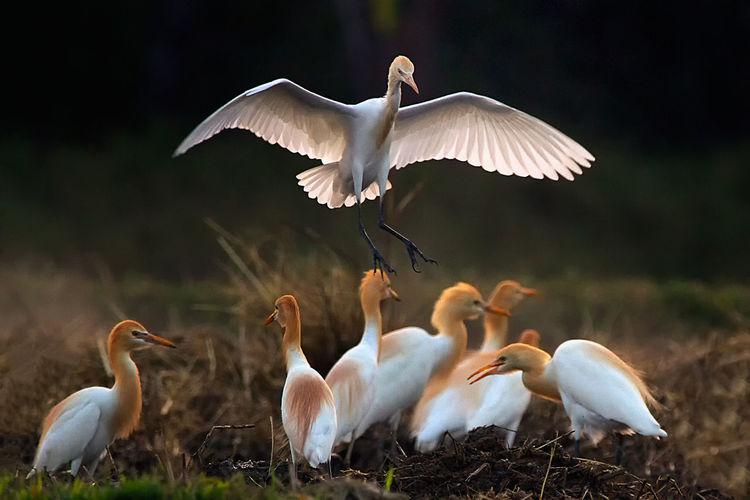 Cattle Egret Birds On Field