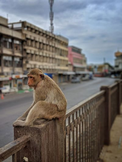 Monkey sitting on railing against buildings in city