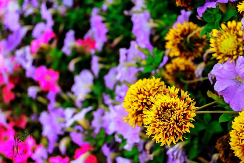 Close-up Flower Fragility Beauty In Nature Freshness Petal Nature Flower Head Blooming Yellow Plant Growth Purple No People Day Outdoors