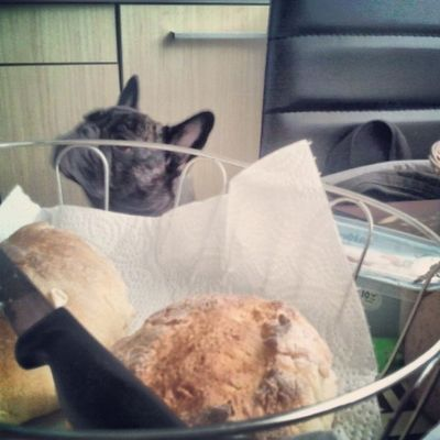 Moodofthemorning Frenchbulldog Bullstagram Bully dog hund breakfast frühstück