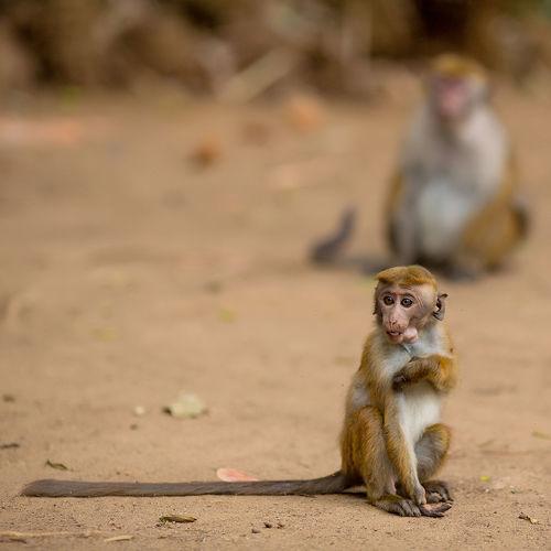 ASIA Monkeys