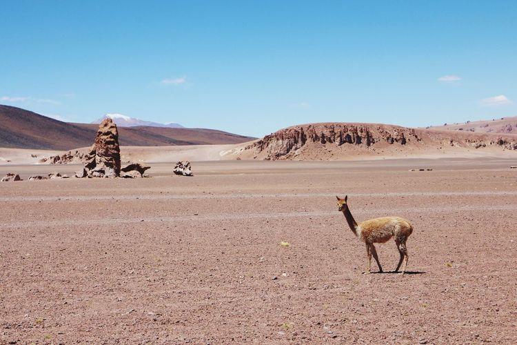 Llama standing on landscape in desert against sky