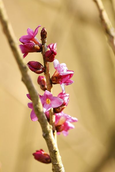 Daphne mezereum, Seidelbast, Fragrant Beauty In Nature Branch Close-up Day Flower Flower Head Fragility Freshness Growth Nature No People Outdoors Petal Pink Color Plant Springtime Tree