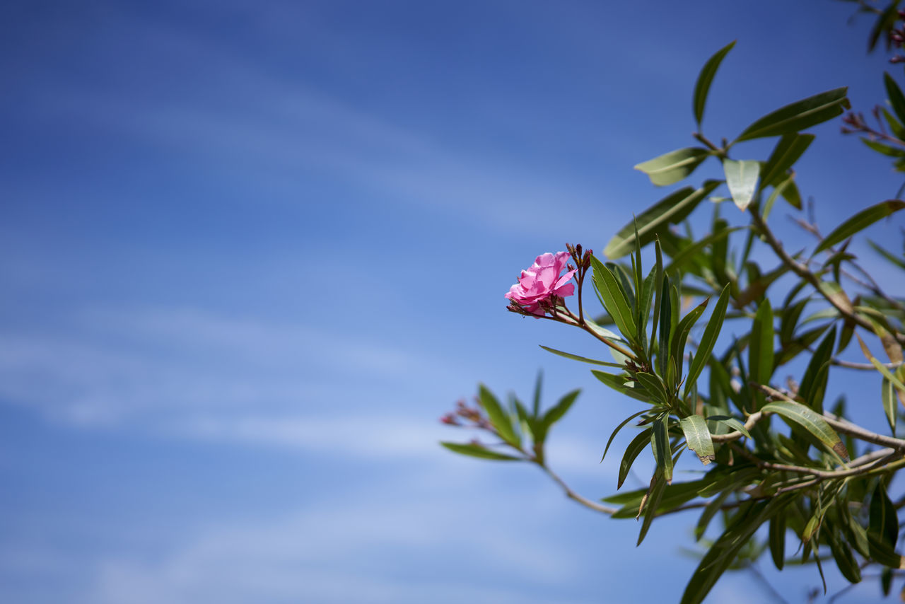 Close-Up Of Pink Flowers Against Sky