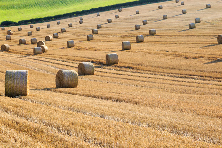Hay Bales In Wheat Field