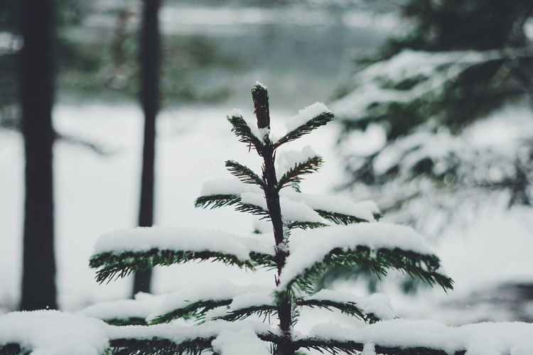 snow covered pine tree Winter Snow Cold Temperature Pinaceae Tree Pine Tree Nature Outdoors Branch Day Frozen No People Fir Tree Snowflake Snowing Christmas Close-up Spruce Tree Beauty In Nature Sky Winter Norwegian Landscape Norway Kruseter Norwegian Nature