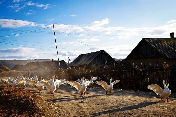 Flock of geese flapping wings on dirt road against sky