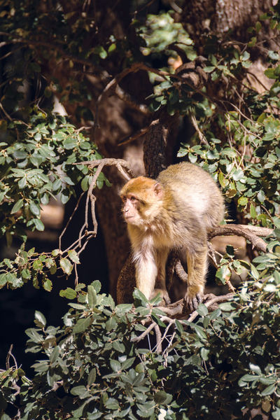 Wildlife shot of a barbary macaque monkey sitting in a tree surroundet by leaves in the National Park of Ifrane, Morocco. Africa Animal Atlas Mountain Barbary Barbary Macaque Cedar Delouse Ecology Ecosystem  Endangered Species Endemic Grooming Habitat Ifrane Louse Lousing Macaca Mammal Monkey Morocco National Park Nature Primate Protection Wildlife