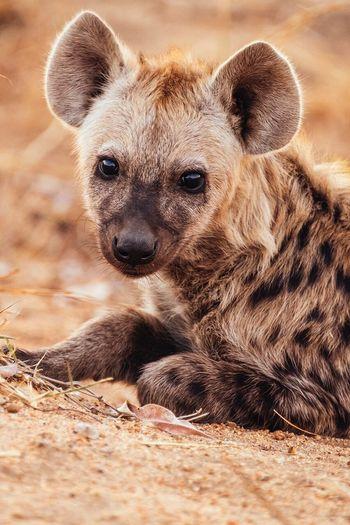 Portrait of hyena relaxing on field