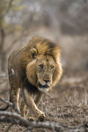 Front view of lion walking in forest