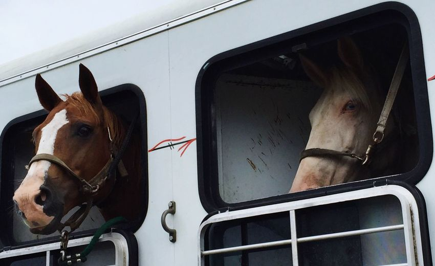 Horse in van looking through window