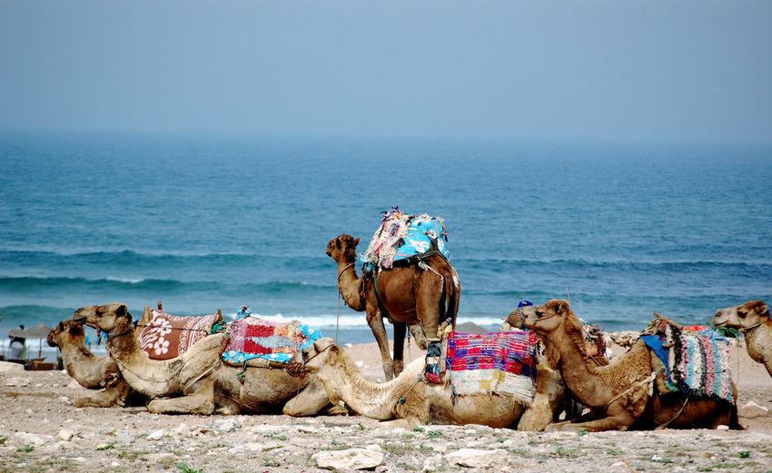 Dromedar Morocco Transportation Animal Animal Themes Beach Camel Day Domestic Domestic Animals Group Of Animals Herbivorous Horizon Horizon Over Water Land Livestock Mammal Nature Outdoors Pets Riding Sea Sky Vertebrate Water The Traveler - 2018 EyeEm Awards