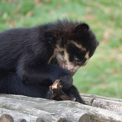 Spectacled Bear Black Fur Andean Bear Bear Tremarctos Ornatus Jong Animal Animal Themes Animal One Animal Mammal Animal Wildlife Animals In The Wild Vertebrate No People Focus On Foreground Close-up Black Color Nature Relaxation Outdoors Sunlight Day