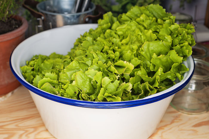 fresh harvested lettuce in Bowl Vitamins Abundance Bowl Close-up Focus On Foreground Food Food And Drink Freshness Green Color Harvested Healthy Eating High Angle View Indoors  Large Group Of Objects Lettuce No People Raw Food Still Life Table Ve Vegetable Vegetarian Food Wellbeing