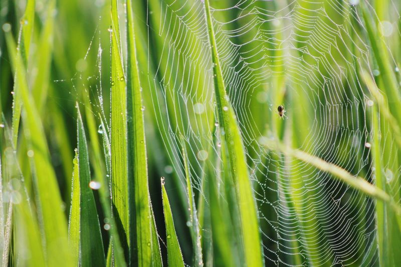 beautiful morning Lumajangindahsekali Indonesia_allshots Animal Themes Indonesiabagus Indonesia Photography  Animal_collection Trapped Backgrounds Full Frame Web Spider Web Complexity Drop Intricacy Close-up Green Color