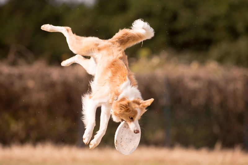 Animal Themes Mammal Animal Domestic Animals Domestic Pets One Animal Vertebrate Mid-air Jumping Motion Canine Dog No People Focus On Foreground Day Playing Running Nature Sunlight Outdoors Disc Dog