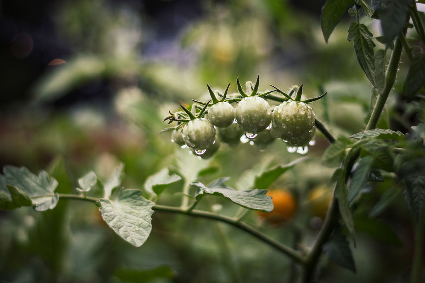 Tomatoes after the Rain Rain Beauty In Nature Close-up Day Flower Flower Head Flowering Plant Focus On Foreground Fragility Freshness Green Color Growth Leaf Nature No People Outdoors Petal Plant Plant Part Plant Stem Selective Focus Tomato Plant Tomatoes Vulnerability