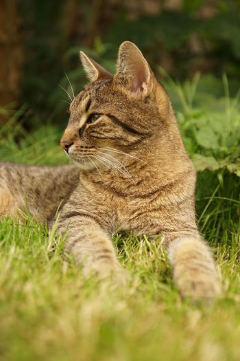 Close-up of tiger sitting on grass