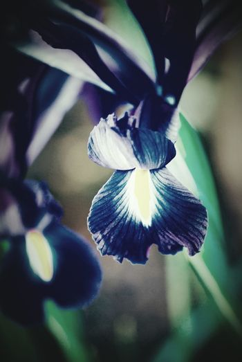 Blue Iris Flowers Flower Flower Collection Retro Vintage Vinigarette Dull But Beautiful Dull Color Floral Perfection Nature Nature Photography Still Life Depth Of Field Close Up Macro Artistic Blurred Background Fauna And Flora Iris No People Flowers, Nature And Beauty Flowers,Plants & Garden EyeEm Best Shots Home Is Where The Art Is Taking Photos