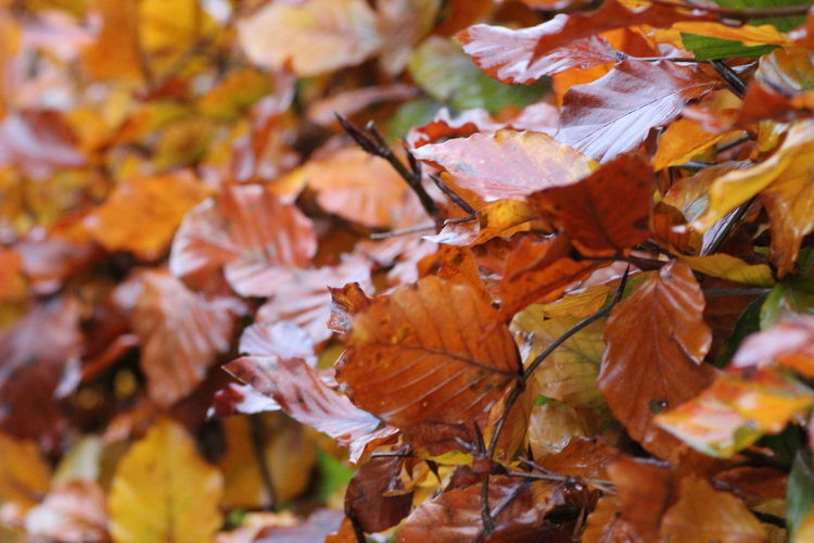 Hedgegerow Hedge Hedgerow Leaves Leaf Autumn Change Plant Part Orange Color Close-up Nature No People Maple Leaf Plant Day Beauty In Nature Vulnerability  Maple Tree Dry Focus On Foreground Fragility Tree Full Frame Natural Condition Outdoors Autumn Collection Fall