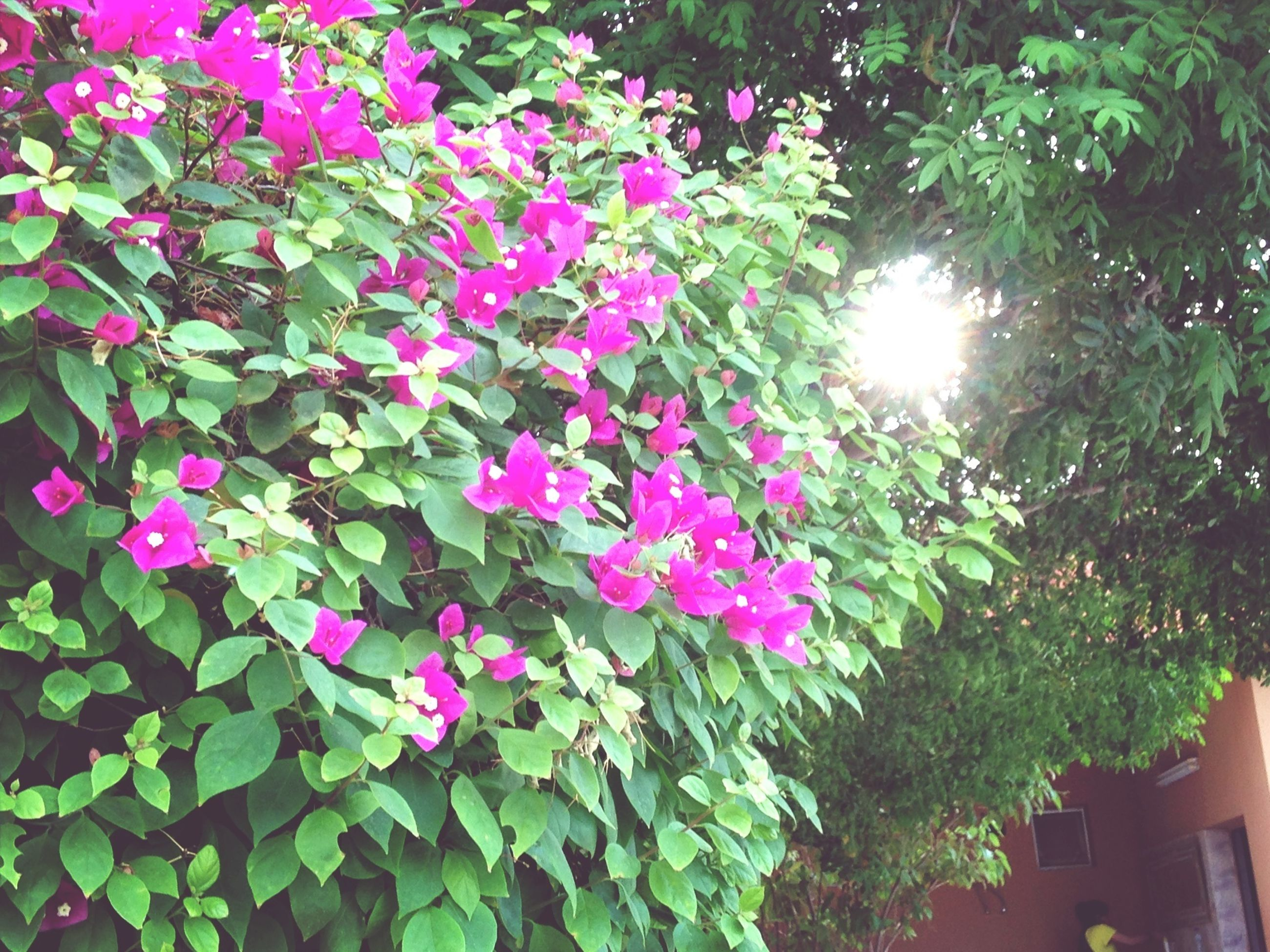 flower, growth, freshness, petal, fragility, beauty in nature, pink color, plant, leaf, nature, blooming, sunlight, flower head, in bloom, green color, day, park - man made space, outdoors, blossom, front or back yard
