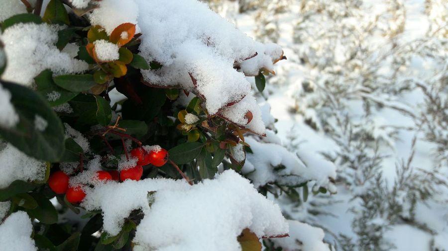 Winter Snow Cold Temperature Nature Weather Tree Beauty In Nature Day Outdoors Plant No People Minimalism Minimalist Photography  çit Bitkileri Fence Pyracantha Ateş Dikeni Diken Red Kırmızı Meyveli Berry