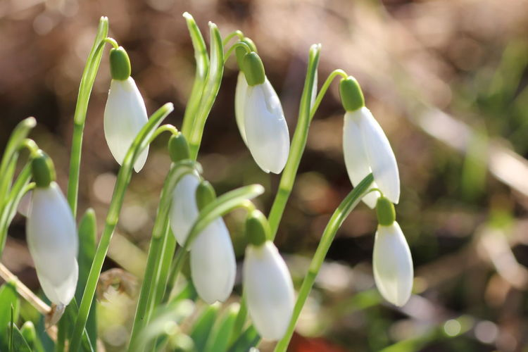 Beautiful spring Growth Plant Vulnerability  Snowdrop Fragility Flower Beauty In Nature Flowering Plant Close-up Nature Green Color Day Freshness No People Petal Focus On Foreground Flower Head White Color Inflorescence Outdoors