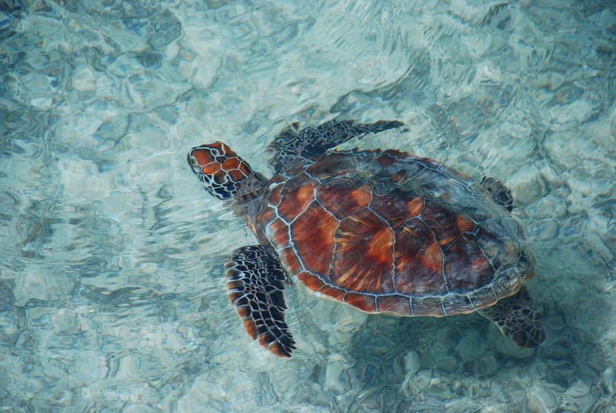 The swimmer Animal Animals In The Wild Bora Bora  French Polynesia Lagoon Nature No People One Animal Pacific Ocean Papeete Sea Sea Life Swimmer Swimming Travel Travel Photography Travelphotography Turtle Turtles Wildlife Zoology