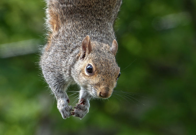 In mid air Animal Themes Animal One Animal Animal Wildlife Animals In The Wild Mammal Rodent Close-up Squirrel Nature No People Animal Body Part Whisker Animal Head  Portrait Animal Eye Outdoors Dangling Hanging Down