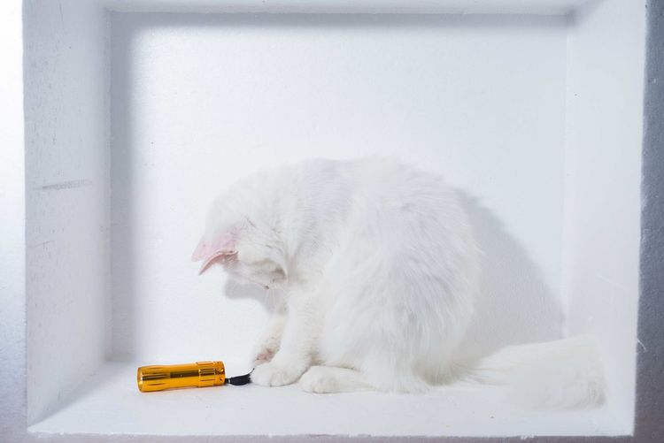 Animal Themes Day Domestic Animals Full Length Indoors  Mammal No People One Animal Pets White Background