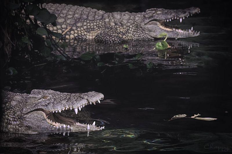 Crocodile Water Lake Nature Animal No People Crocodile Animal Themes Plant Swimming