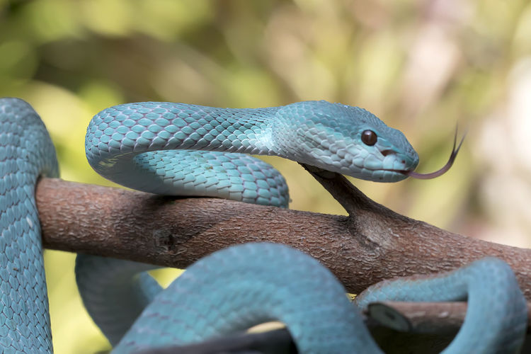 Close up of the exotic and venomous viper snake blue insularis - animal reptile photo series
