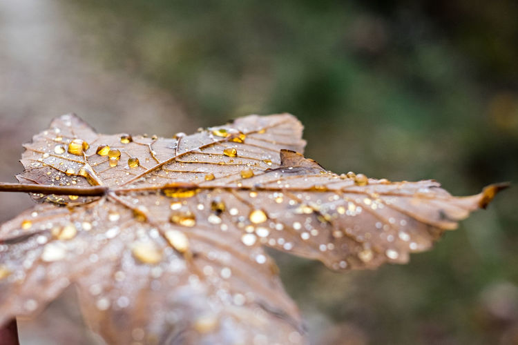 Close-up of wet maple leaves during rainy season