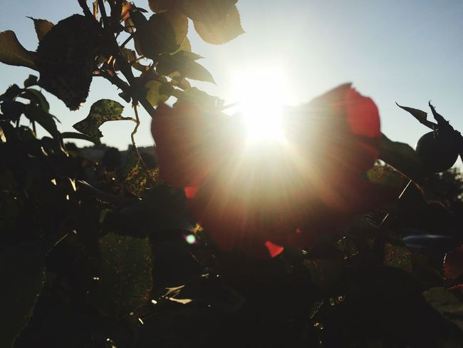 Sun Sunbeam Sunlight Low Angle View Beauty In Nature Close-up Flower Nature
