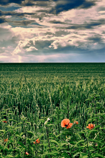 Field Hungary Landscape Poppy Flowers TLP