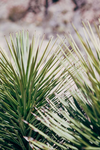 Ann Ilagan Photography Beauty In Nature Close-up Coniferous Tree Day Focus On Foreground Freshness Green Green Color Growth Leaf Nature Needle - Plant Part No People Outdoors Palm Leaf Pine Tree Plant Plant Part Selective Focus Tranquility Tree