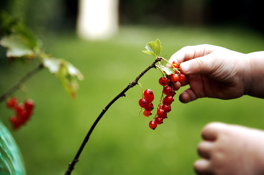 little hand Close-up Day Focus On Foreground Food Food And Drink Freshness Fruit Growth Healthy Eating Human Body Part Human Hand Nature One Person Outdoors People Real People Red Ripe