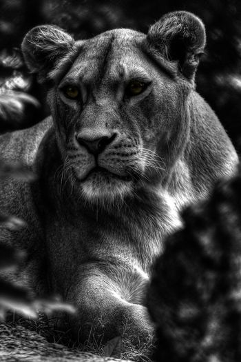 detailed portrait Animal Portrait Black And White Lion Animal Themes Animal Nature Photography Animal Head  Close-up Day Female Animal Animal Body Part Looking At Camera Portrait No People Animals In The Wild Details Of Nature EyeEm Best Shots EyeEm Gallery One Animal Cat Looking monochrome photography Animal Wildlife Eyes Closed  Ligth And Shadow