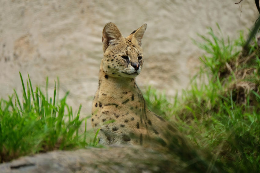 Serval cat at Wellington Zoo, New Zealand. Big Cats Serval Cat Wildlife Photography Zoo Animal Wildlife Animals In The Wild Attentive Day Grass Mammal Nature No People One Animal Plant Portrait Serval  Vertebrate Wellington Zoo Wildlife Zoo Animals